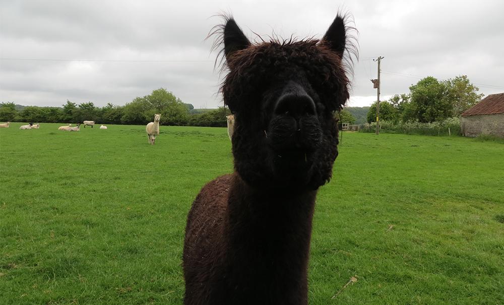 A very curious Llama