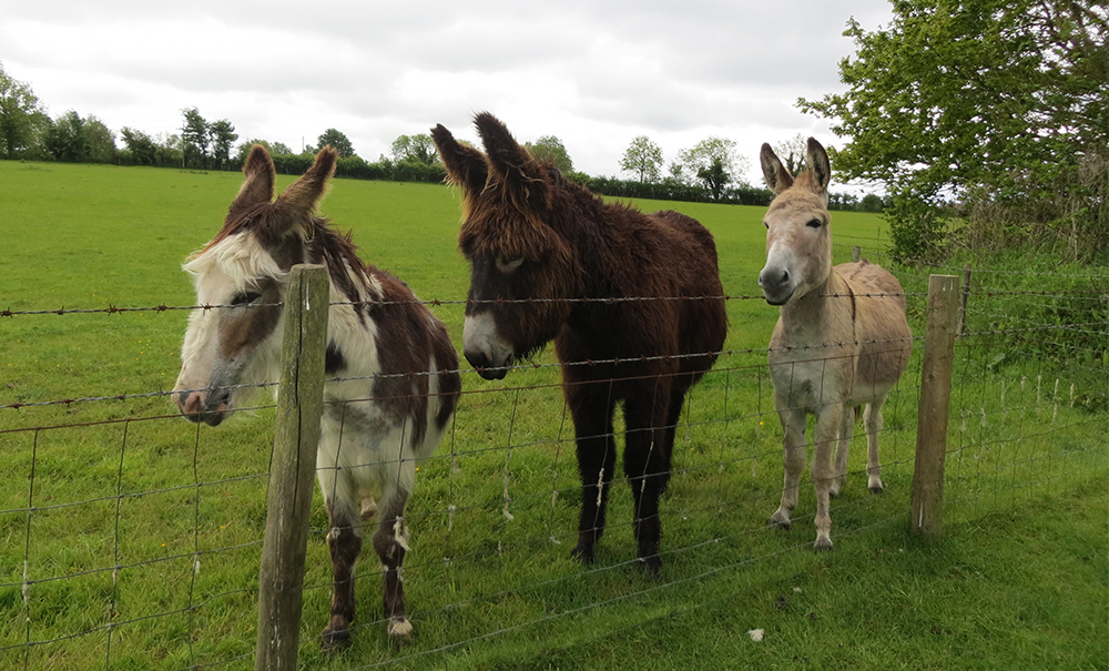 three friendly donkeys