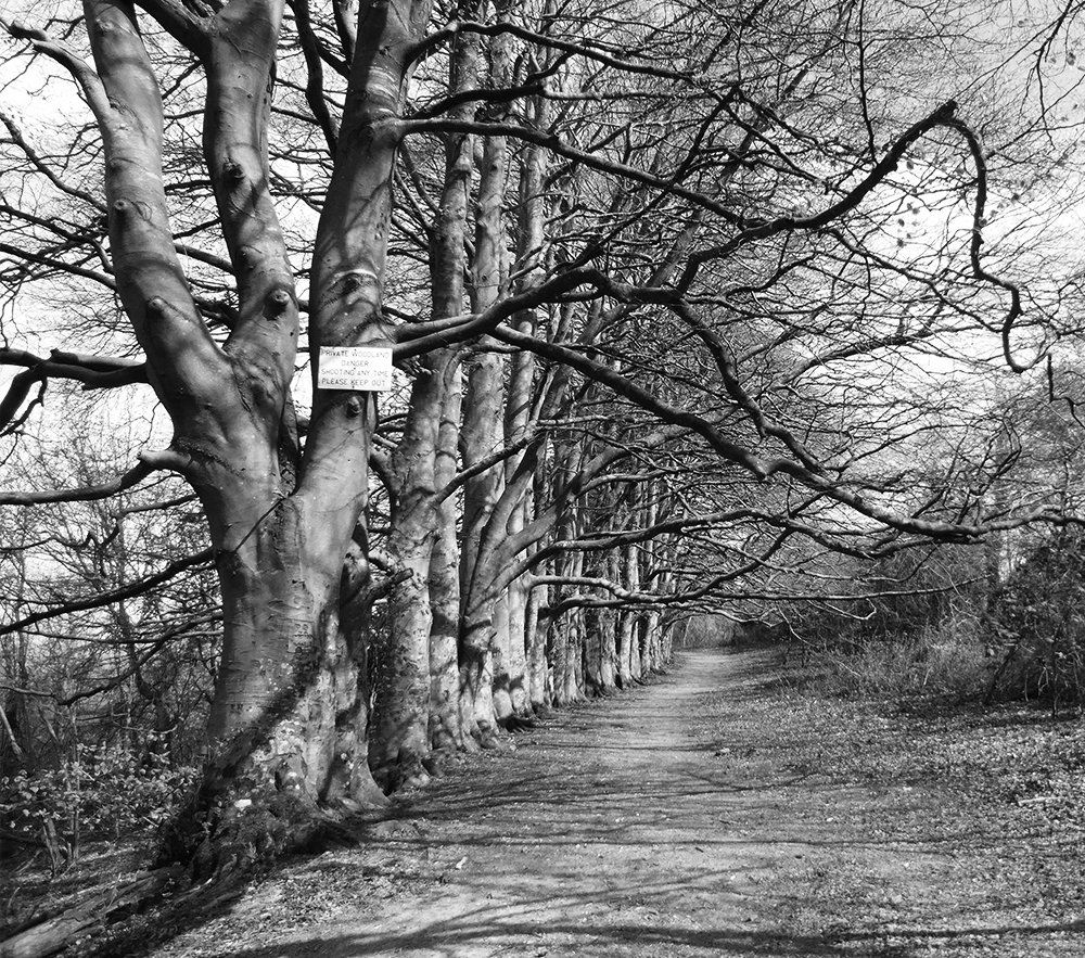 An avenue of beech trees