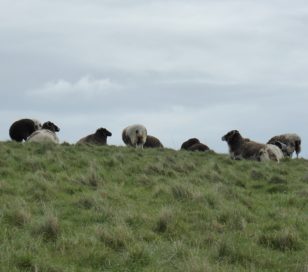 woolly brown and white sheep