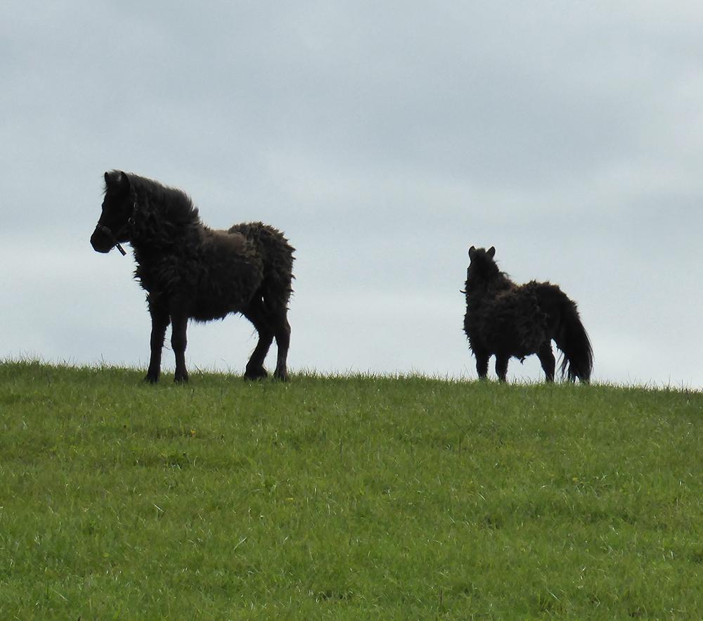 Very shaggy ponies